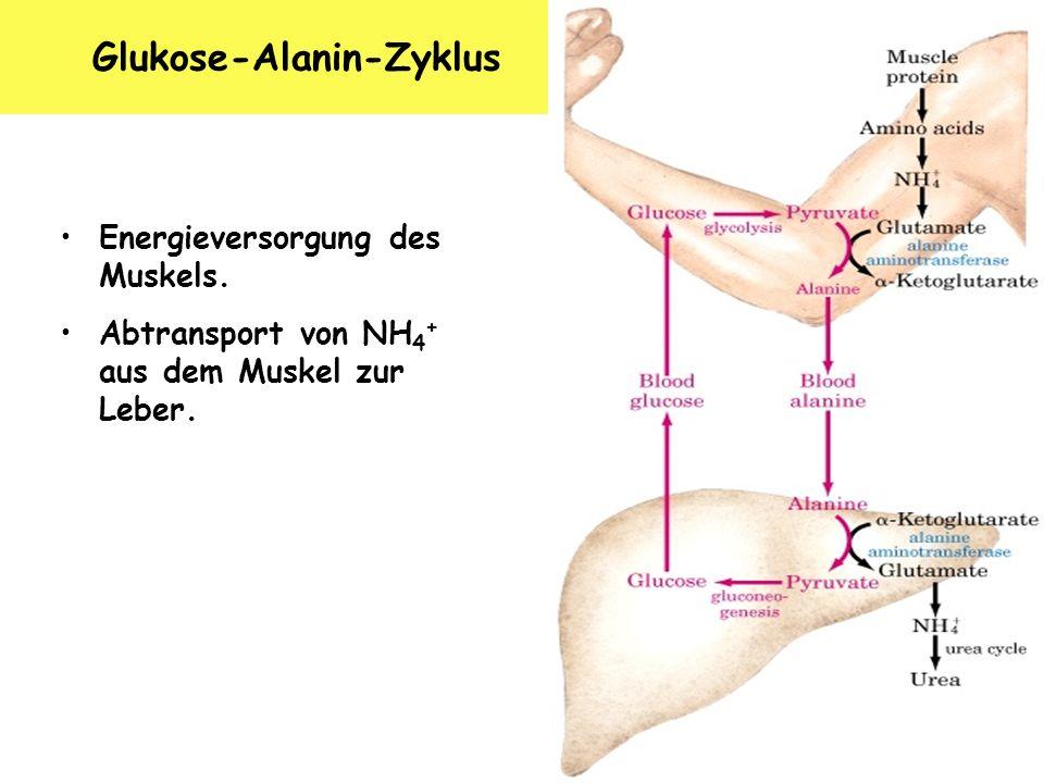 K. Arndt, 10/2006 Glukose-Alanin-Zyklus Energieversorgung des Muskels. Abtransport von NH 4 + aus dem Muskel zur Leber.
