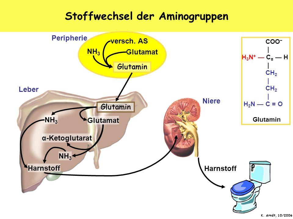 K. Arndt, 10/2006 Stoffwechsel der Aminogruppen Glutamin Leber Niere Peripherie versch. AS Glutamat NH 3 Glutamin Glutamat α-Ketoglutarat Harnstoff NH