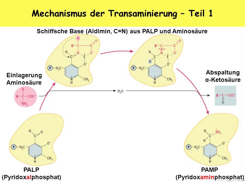 K. Arndt, 10/2006 Mechanismus der Transaminierung – Teil 1 PALP (Pyridoxalphosphat) Einlagerung Aminosäure PAMP (Pyridoxaminphosphat) Abspaltung α-Ket