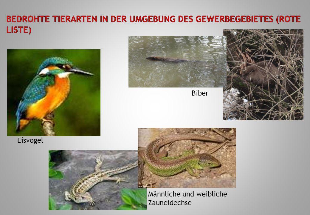 Eisvogel Männliche und weibliche Zauneidechse Biber