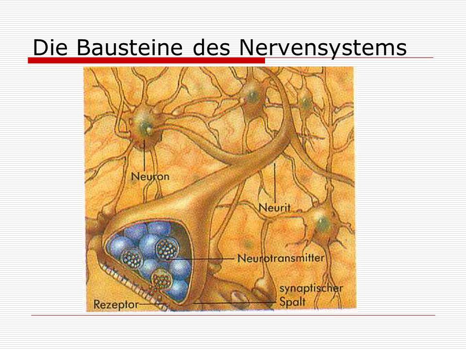 Die Bausteine des Nervensystems