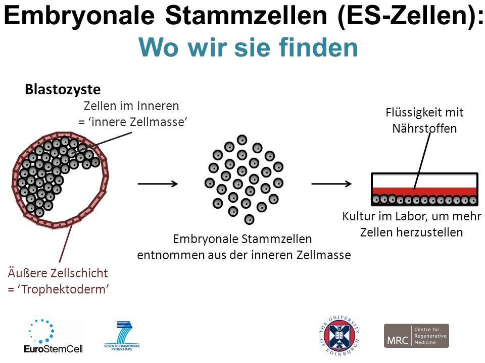 Embryonale Stammzellen (ES-Zellen): Wo wir sie finden Embryonale Stammzellen entnommen aus der inneren Zellmasse Kultur im Labor, um mehr Zellen herzu