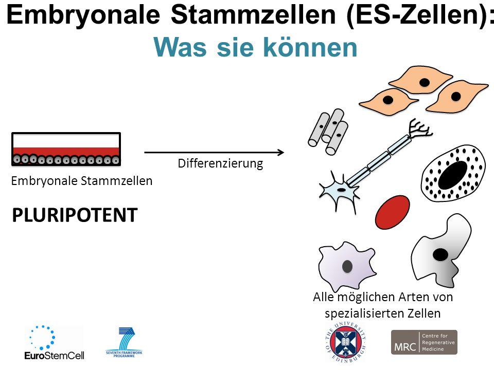 Embryonale Stammzellen (ES-Zellen): Was sie können Embryonale Stammzellen PLURIPOTENT Alle möglichen Arten von spezialisierten Zellen Differenzierung