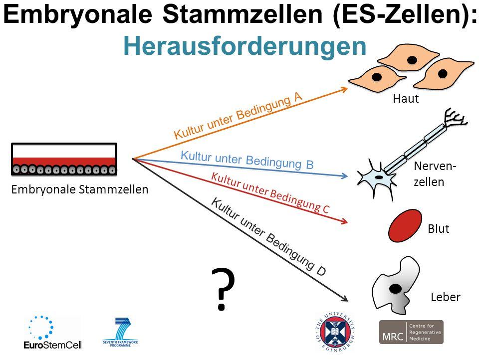 Nerven- zellen Kultur unter Bedingung B Embryonale Stammzellen (ES-Zellen): Herausforderungen Embryonale Stammzellen Haut Kultur unter Bedingung A Blu