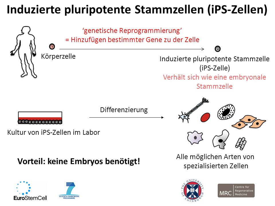 Induzierte pluripotente Stammzellen (iPS-Zellen) Körperzelle genetische Reprogrammierung = Hinzufügen bestimmter Gene zu der Zelle Induzierte pluripot