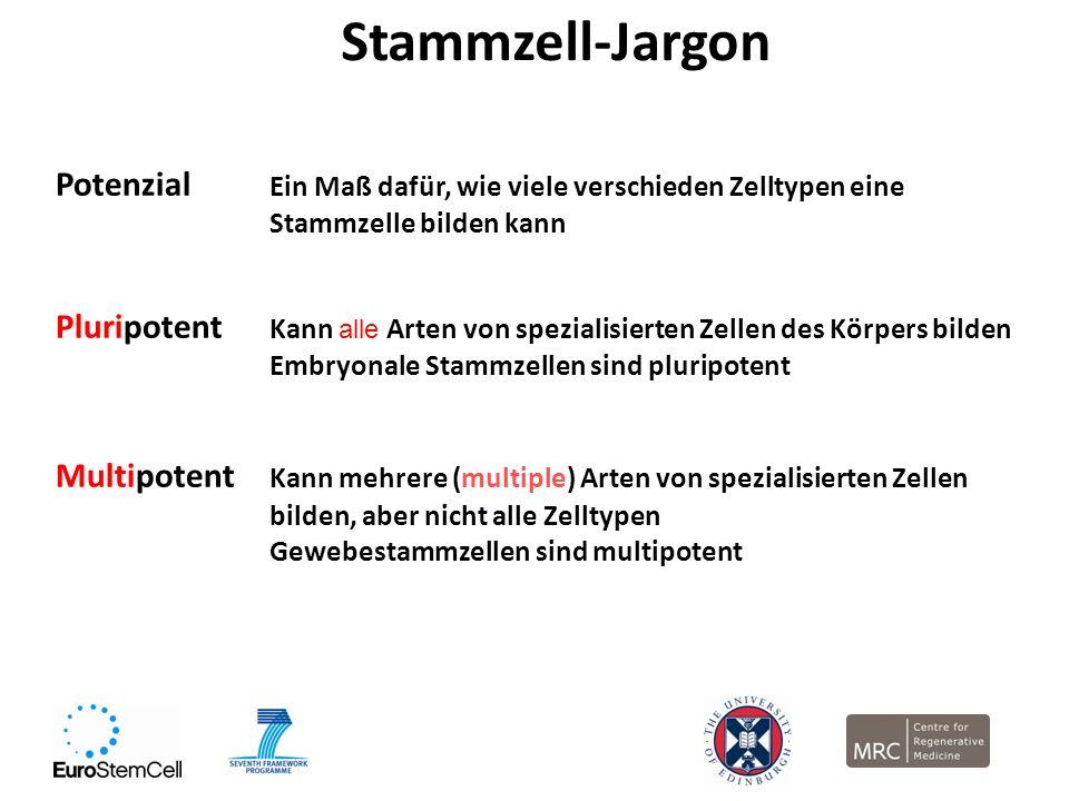 Stammzell-Jargon Potenzial Ein Maß dafür, wie viele verschieden Zelltypen eine Stammzelle bilden kann Pluripotent Kann alle Arten von spezialisierten