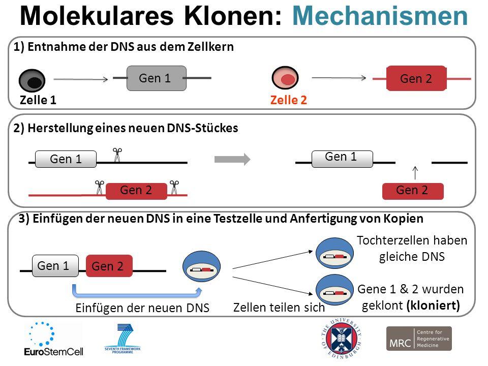 Molekulares Klonen: Mechanismen Gen 1 Gen 2 2) Herstellung eines neuen DNS-Stückes Gen 1 Gen 2 1) Entnahme der DNS aus dem Zellkern Zelle 1Zelle 2 Gen