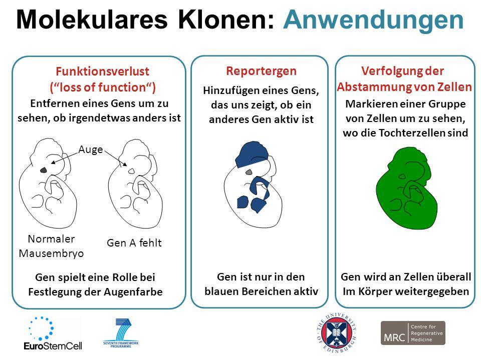 Molekulares Klonen: Anwendungen Normaler Mausembryo Gen A fehlt Entfernen eines Gens um zu sehen, ob irgendetwas anders ist Funktionsverlust (loss of