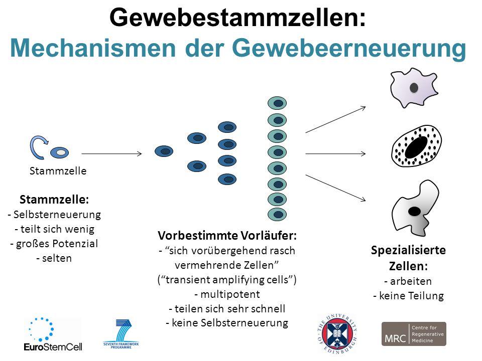 Gewebestammzellen: Mechanismen der Gewebeerneuerung Stammzelle Vorbestimmte Vorläufer: - sich vorübergehend rasch vermehrende Zellen (transient amplif