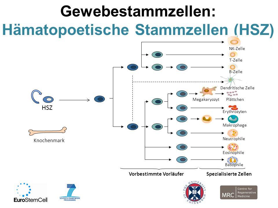 Gewebestammzellen: Hämatopoetische Stammzellen (HSZ) HSZ Vorbestimmte Vorläufer Neutrophile NK-Zelle Erythrozyten Dendritische Zelle Plättchen Megakar