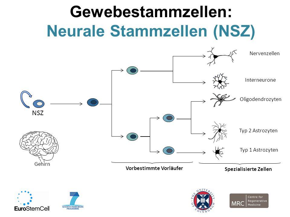 Gewebestammzellen: Neurale Stammzellen (NSZ) NSZ Gehirn Vorbestimmte Vorläufer Spezialisierte Zellen Nervenzellen Interneurone Oligodendrozyten Typ 2