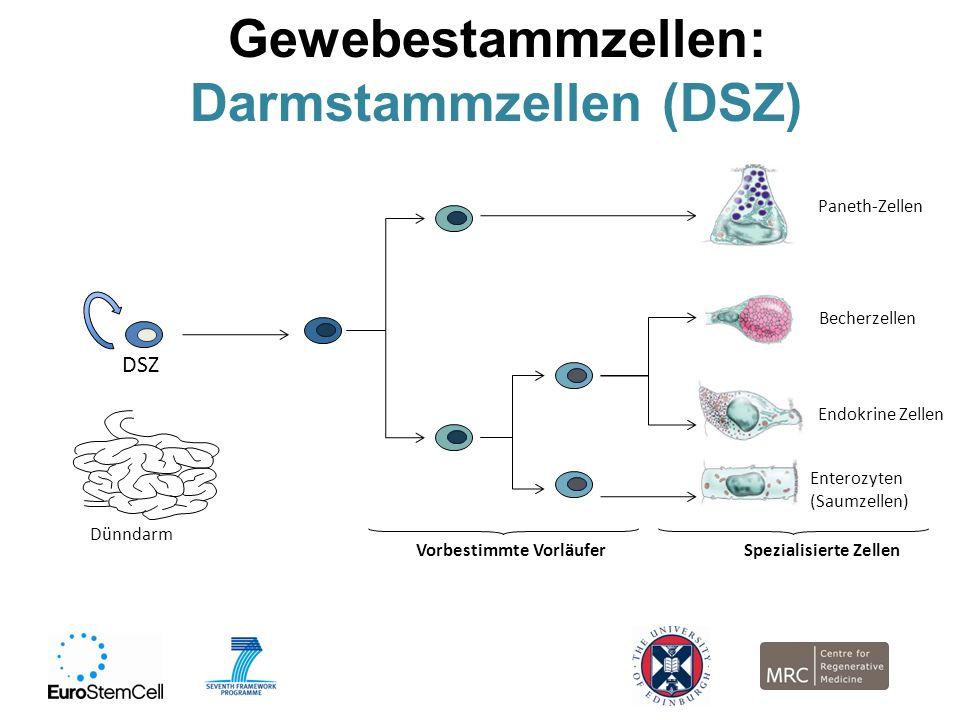 Gewebestammzellen: Darmstammzellen (DSZ) DSZ Dünndarm Vorbestimmte Vorläufer Paneth-Zellen Enterozyten (Saumzellen) Becherzellen Endokrine Zellen Spez