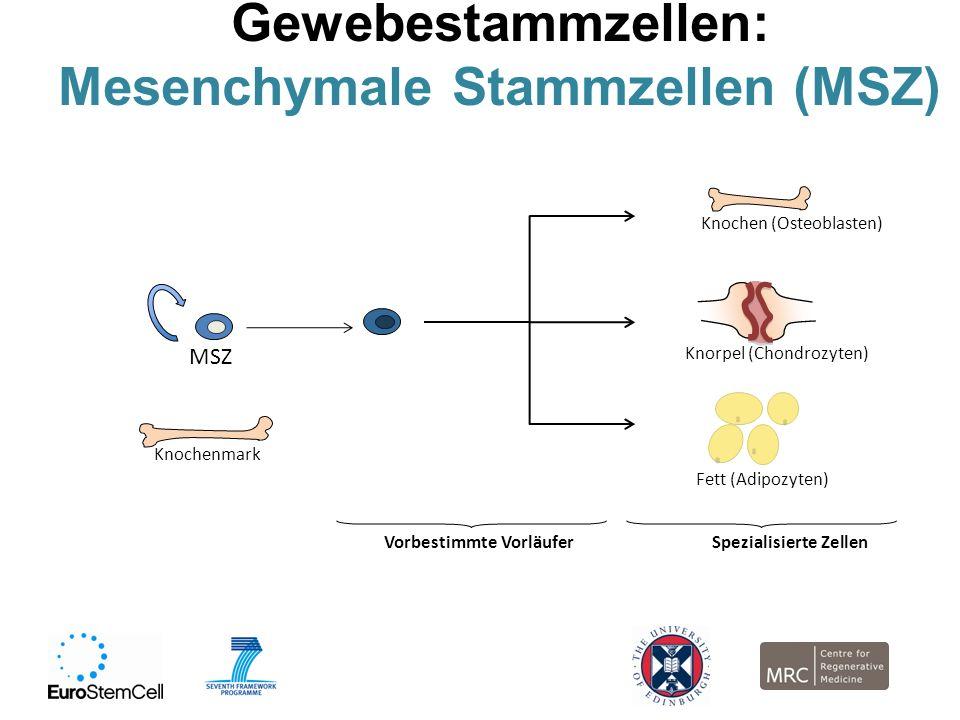 Gewebestammzellen: Mesenchymale Stammzellen (MSZ) MSZ Knochenmark Vorbestimmte Vorläufer Knochen (Osteoblasten) Knorpel (Chondrozyten) Fett (Adipozyte