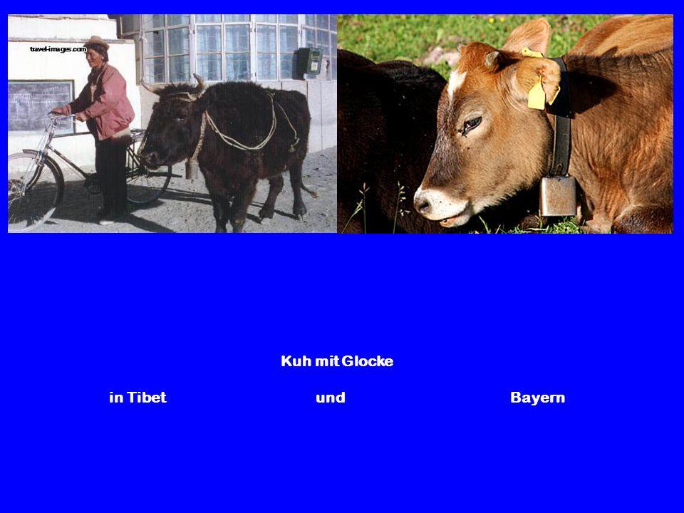 Kuh mit Glocke in Tibet und Bayern
