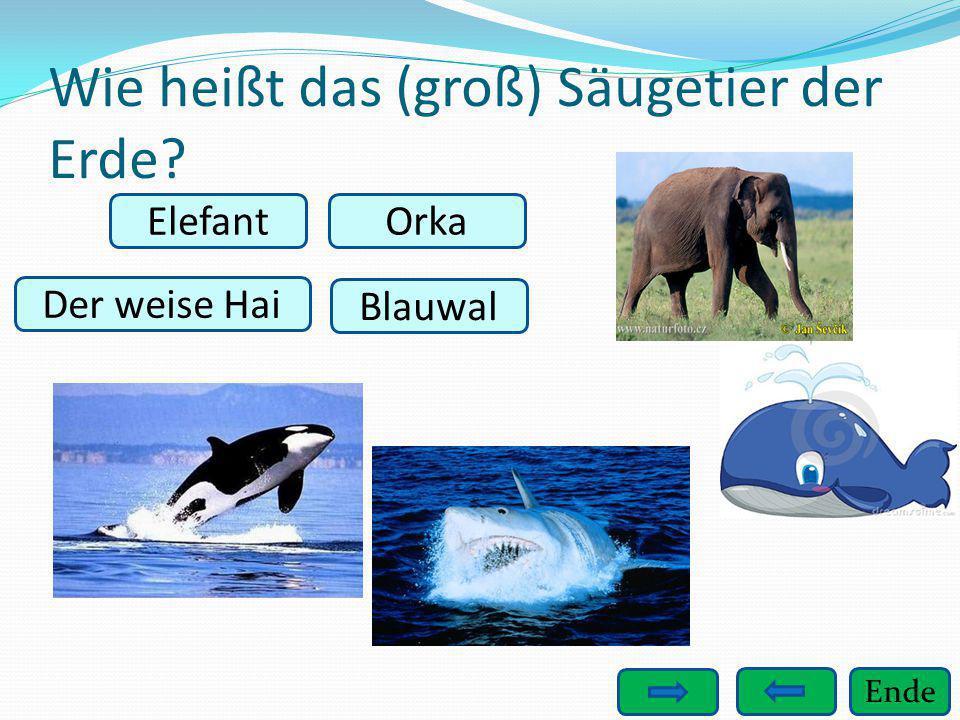 Ende Wie heißt das (groß) Säugetier der Erde? Elefant Der weise Hai Blauwal Orka