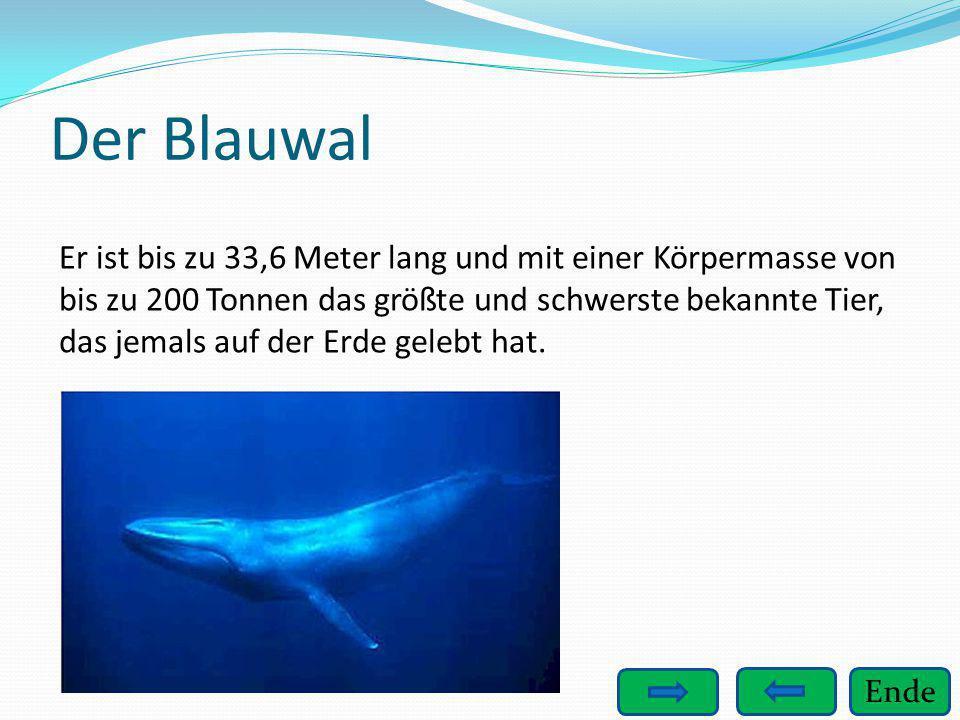 Ende Der Blauwal Er ist bis zu 33,6 Meter lang und mit einer Körpermasse von bis zu 200 Tonnen das größte und schwerste bekannte Tier, das jemals auf