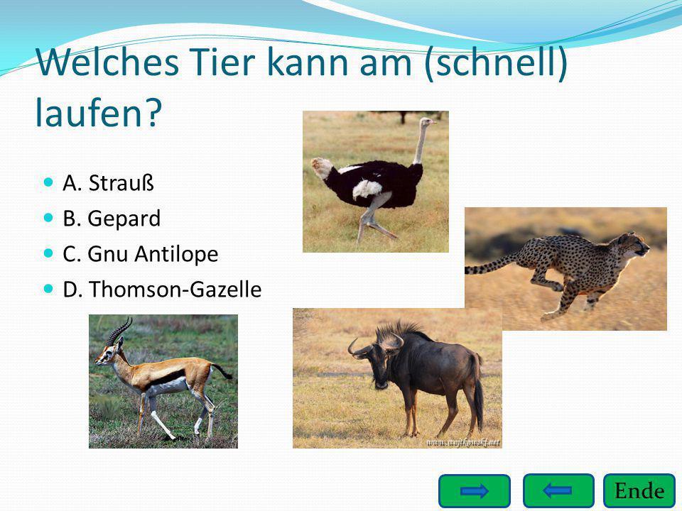 Ende Welches Tier kann am (schnell) laufen? A. Strauß B. Gepard C. Gnu Antilope D. Thomson-Gazelle