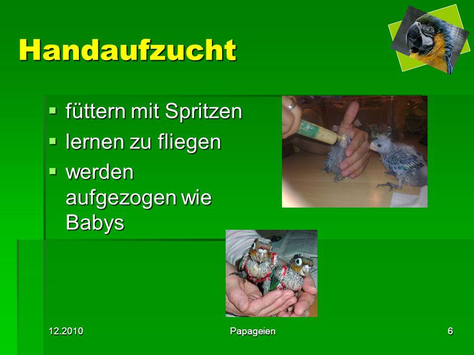 12.2010Papageien6 Handaufzucht  füttern mit Spritzen  lernen zu fliegen  werden aufgezogen wie Babys