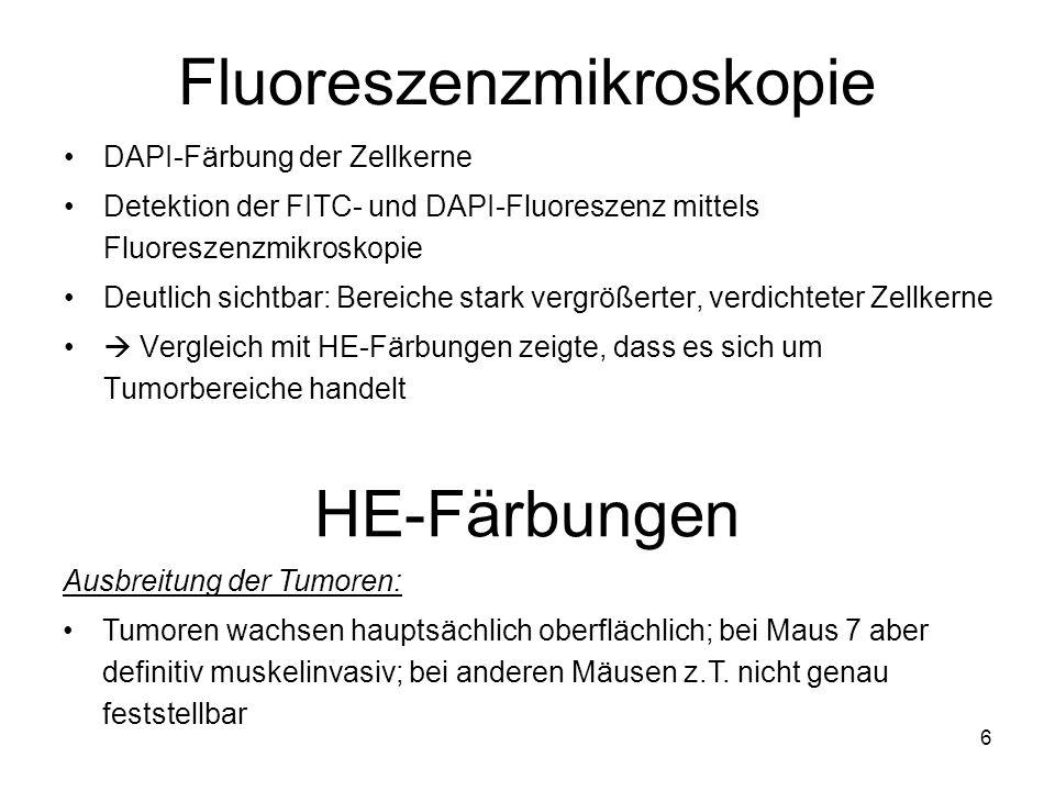 6 Fluoreszenzmikroskopie DAPI-Färbung der Zellkerne Detektion der FITC- und DAPI-Fluoreszenz mittels Fluoreszenzmikroskopie Deutlich sichtbar: Bereich