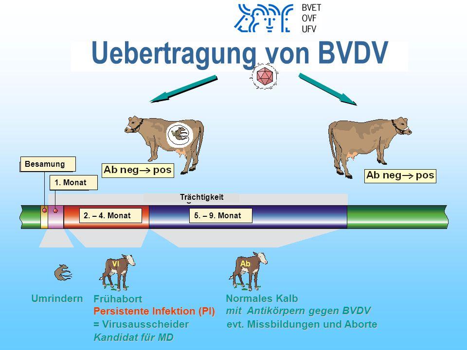 Uebertragung von BVDV Umrindern Persistente Infektion (PI) = Virusausscheider Frühabort Kandidat für MD Normales Kalb evt.
