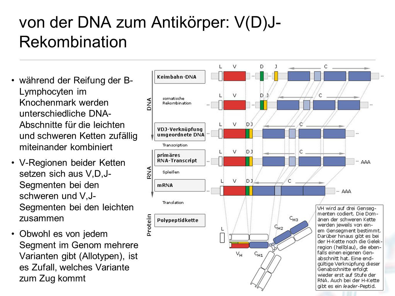 10 von der DNA zum Antikörper: V(D)J- Rekombination während der Reifung der B- Lymphocyten im Knochenmark werden unterschiedliche DNA- Abschnitte für