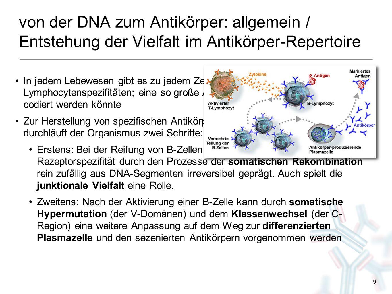 10 von der DNA zum Antikörper: V(D)J- Rekombination während der Reifung der B- Lymphocyten im Knochenmark werden unterschiedliche DNA- Abschnitte für die leichten und schweren Ketten zufällig miteinander kombiniert V-Regionen beider Ketten setzen sich aus V,D,J- Segmenten bei den schweren und V,J- Segmenten bei den leichten zusammen Obwohl es von jedem Segment im Genom mehrere Varianten gibt (Allotypen), ist es Zufall, welches Variante zum Zug kommt