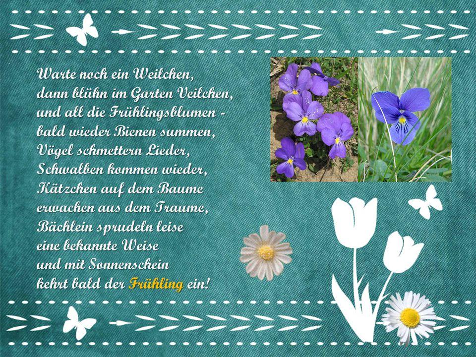 Warte noch ein Weilchen, dann blühn im Garten Veilchen, und all die Frühlingsblumen - bald wieder Bienen summen, Vögel schmettern Lieder, Schwalben kommen wieder, Kätzchen auf dem Baume erwachen aus dem Traume, Bächlein sprudeln leise eine bekannte Weise und mit Sonnenschein kehrt bald der Frühling ein!