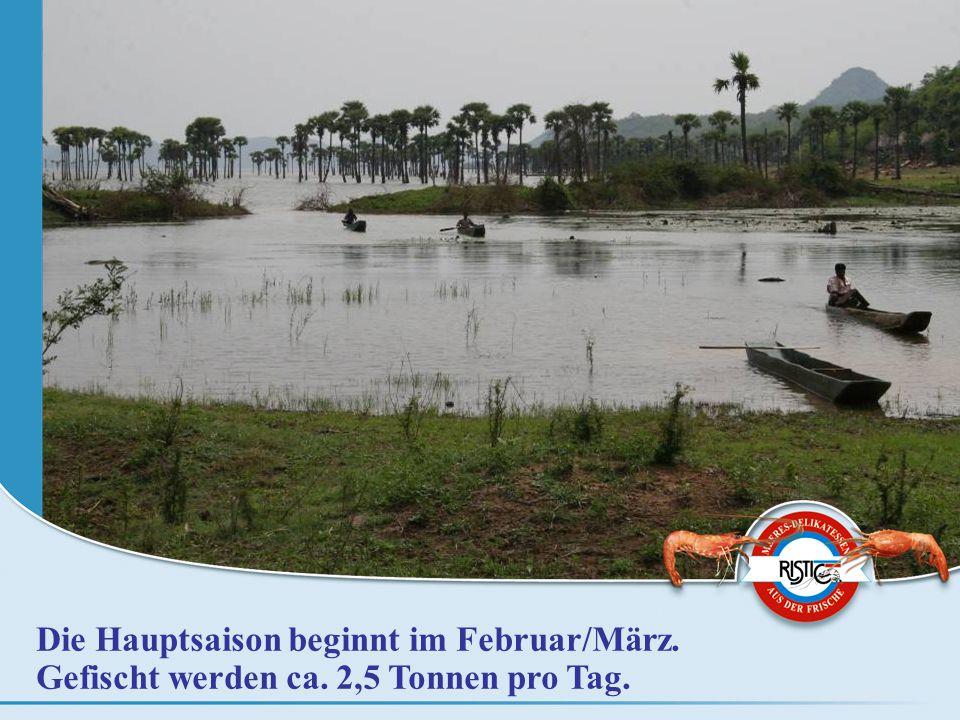 Die Hauptsaison beginnt im Februar/März. Gefischt werden ca. 2,5 Tonnen pro Tag.