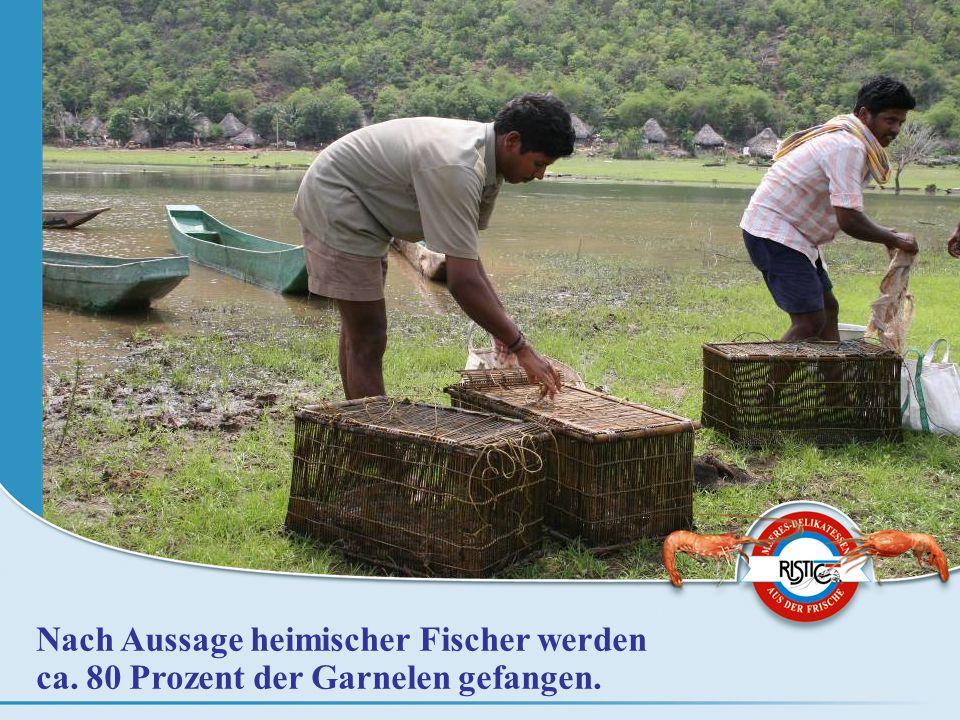 Nach Aussage heimischer Fischer werden ca. 80 Prozent der Garnelen gefangen.