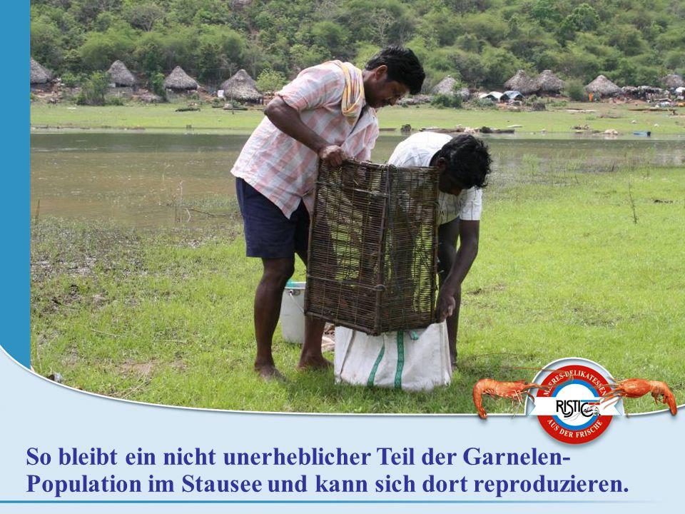 So bleibt ein nicht unerheblicher Teil der Garnelen- Population im Stausee und kann sich dort reproduzieren.