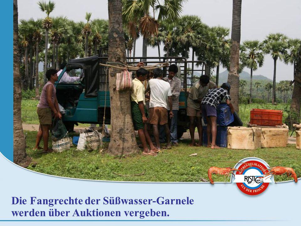 Die Fangrechte der Süßwasser-Garnele werden über Auktionen vergeben.