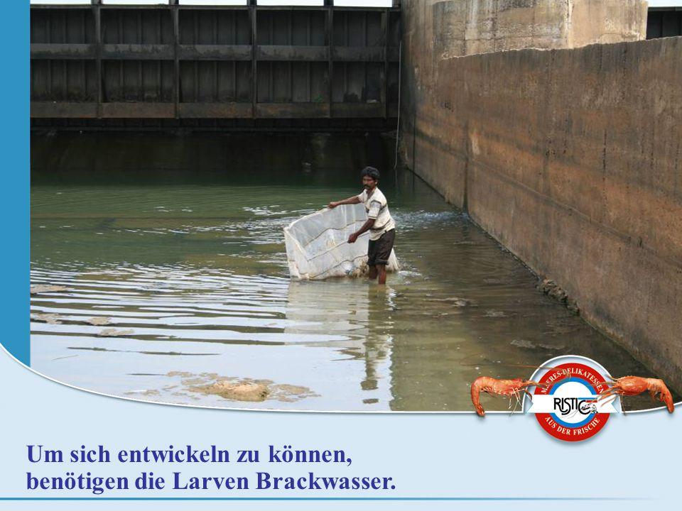 Um sich entwickeln zu können, benötigen die Larven Brackwasser.