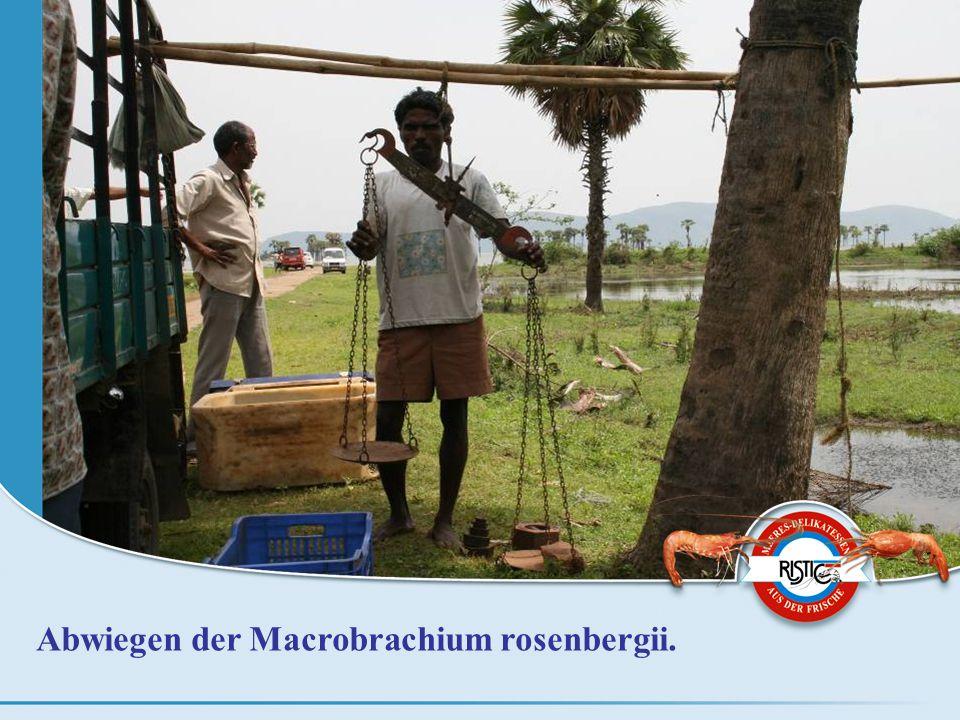 Abwiegen der Macrobrachium rosenbergii.