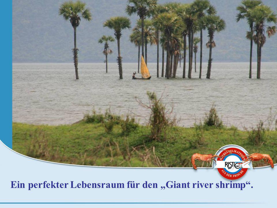 """Ein perfekter Lebensraum für den """"Giant river shrimp ."""