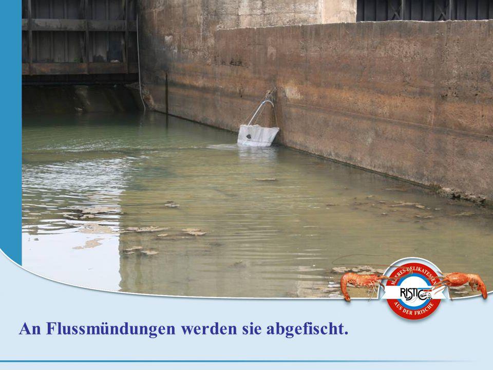 An Flussmündungen werden sie abgefischt.