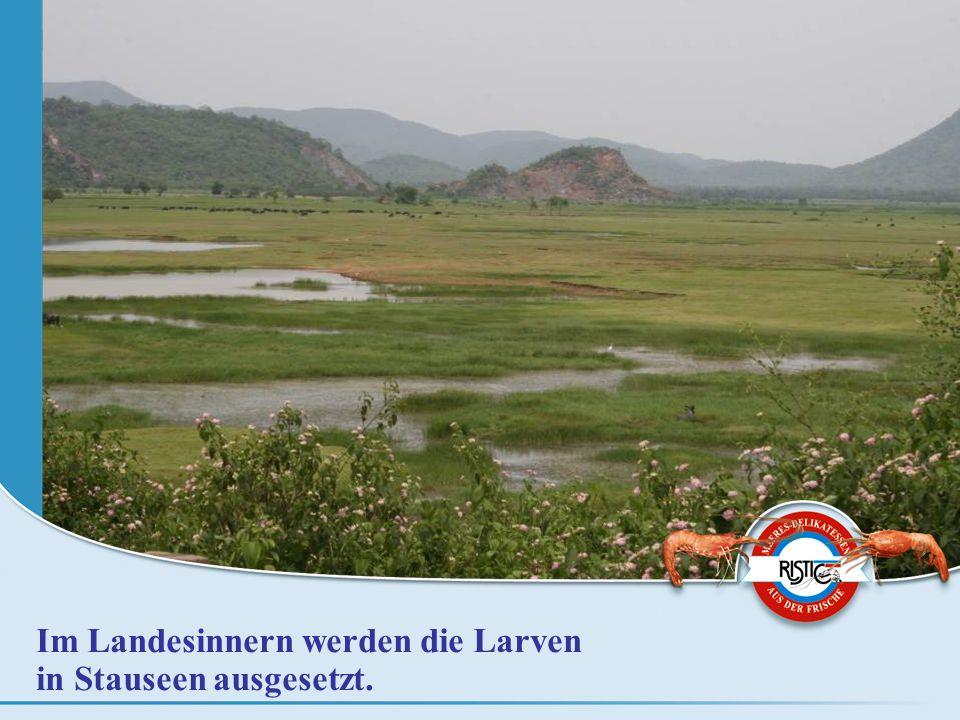 Im Landesinnern werden die Larven in Stauseen ausgesetzt.