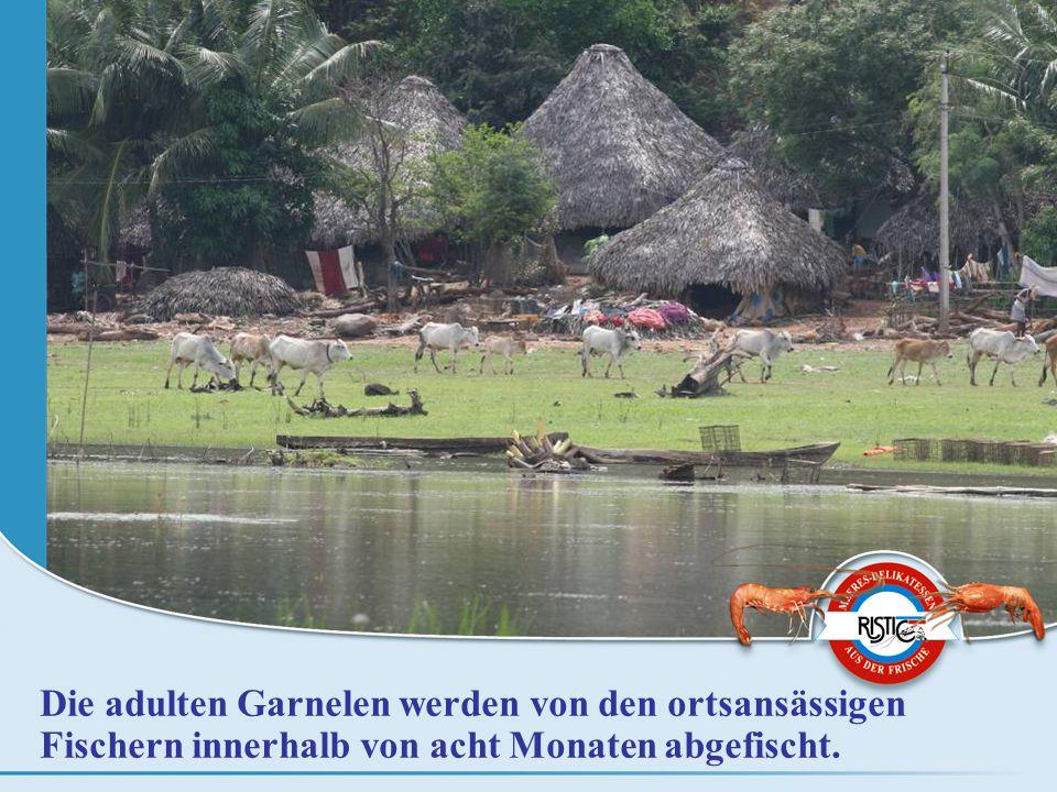 Die adulten Garnelen werden von den ortsansässigen Fischern innerhalb von acht Monaten abgefischt.