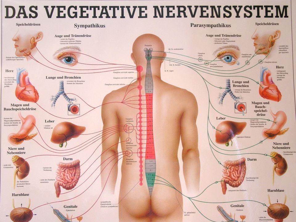 Ursprung und Aufbau des peripheren vegetativen Nervensystems Links die Ursprungsgebiete der Zellkörper präganglionärer Neurone des Sympathikus (rot) und des Parasympathikus (grün) im Hirnstamm und den verschiedenen Abschnitten des Rückenmarks.
