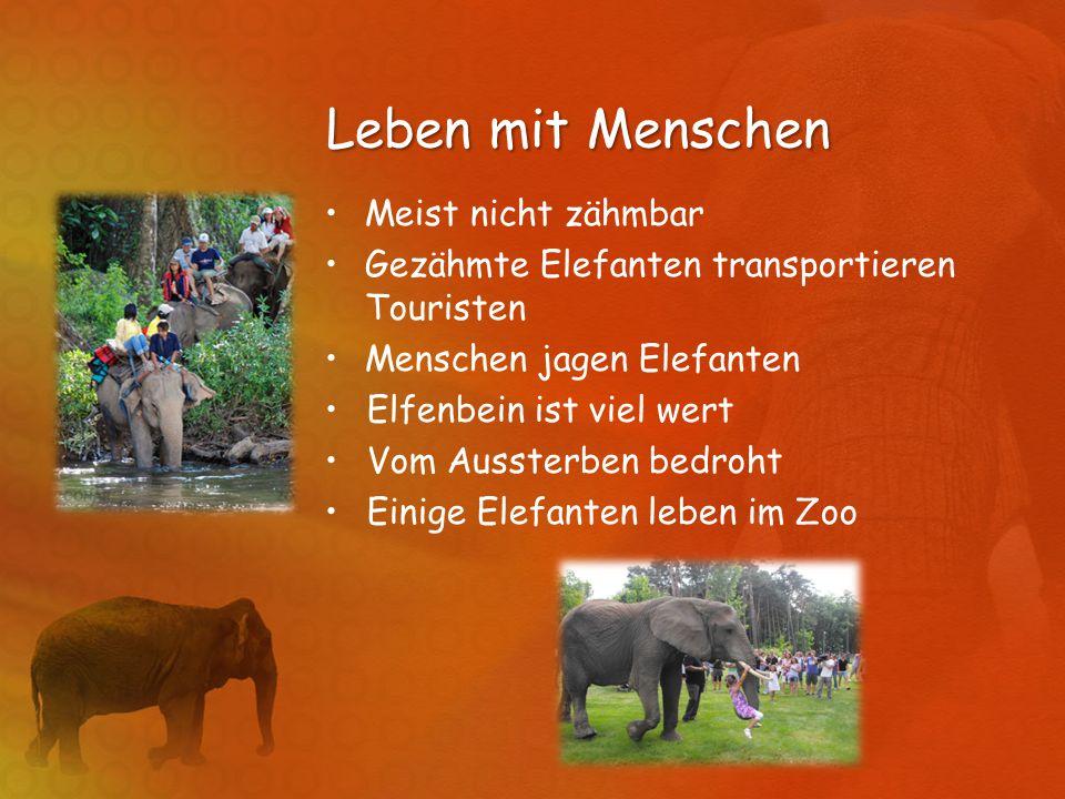 Leben mit Menschen Meist nicht zähmbar Gezähmte Elefanten transportieren Touristen Menschen jagen Elefanten Elfenbein ist viel wert Vom Aussterben bed
