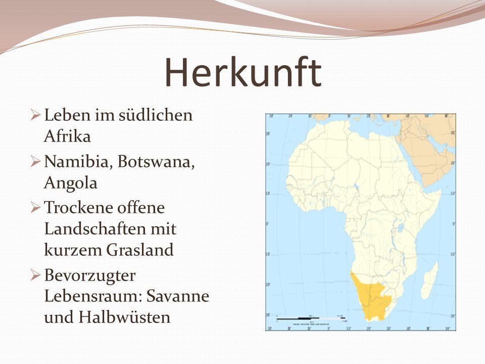 Herkunft  Leben im südlichen Afrika  Namibia, Botswana, Angola  Trockene offene Landschaften mit kurzem Grasland  Bevorzugter Lebensraum: Savanne und Halbwüsten
