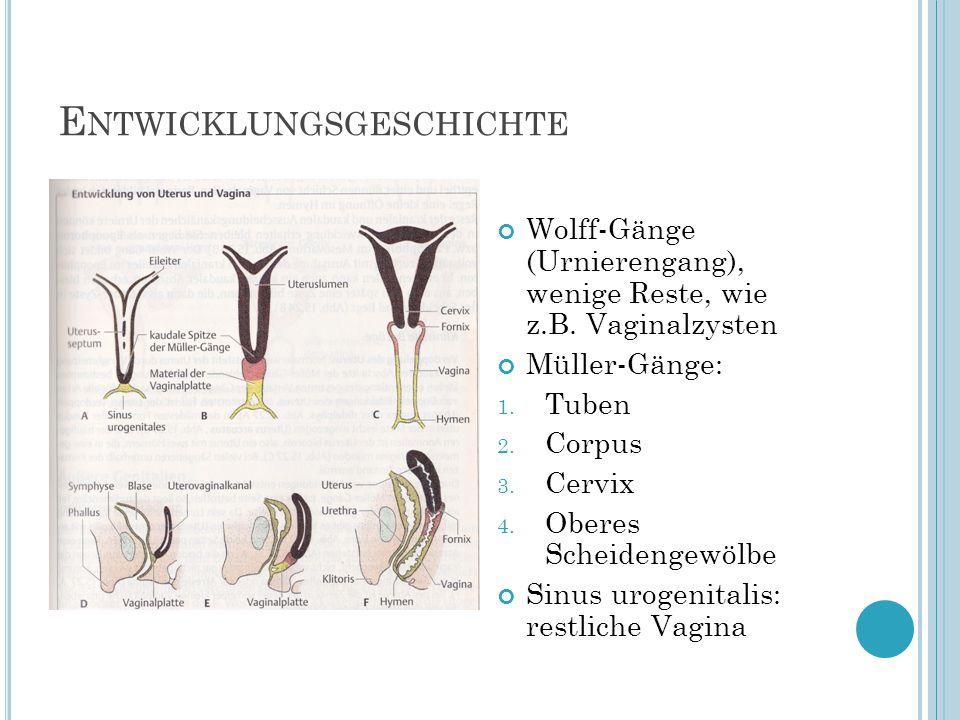 E NTWICKLUNGSGESCHICHTE Wolff-Gänge (Urnierengang), wenige Reste, wie z.B. Vaginalzysten Müller-Gänge: 1. Tuben 2. Corpus 3. Cervix 4. Oberes Scheiden