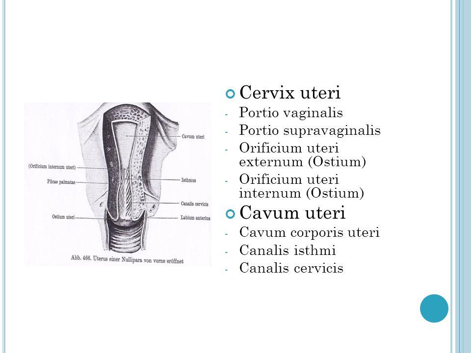 Cervix uteri - Portio vaginalis - Portio supravaginalis - Orificium uteri externum (Ostium) - Orificium uteri internum (Ostium) Cavum uteri - Cavum co