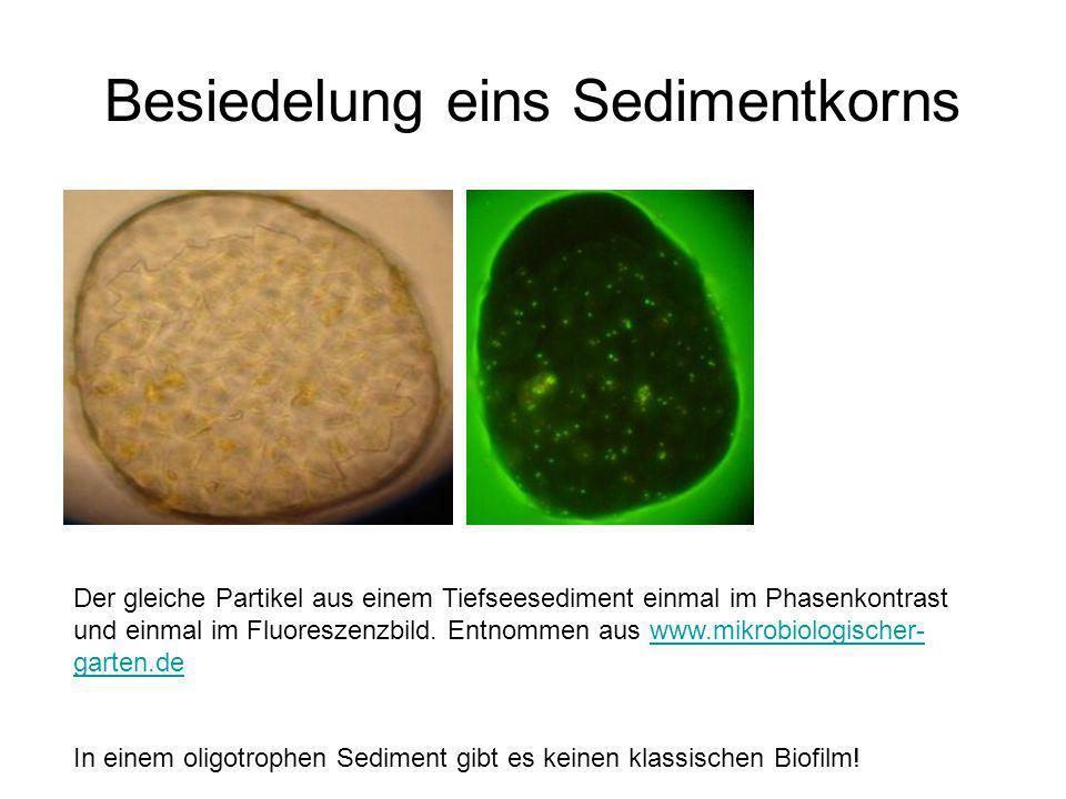 Besiedelung eins Sedimentkorns Der gleiche Partikel aus einem Tiefseesediment einmal im Phasenkontrast und einmal im Fluoreszenzbild. Entnommen aus ww