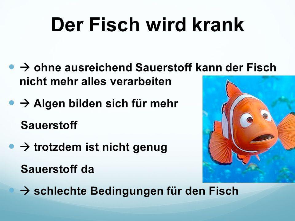 Der Fisch wird krank  ohne ausreichend Sauerstoff kann der Fisch nicht mehr alles verarbeiten  Algen bilden sich für mehr Sauerstoff  trotzdem ist