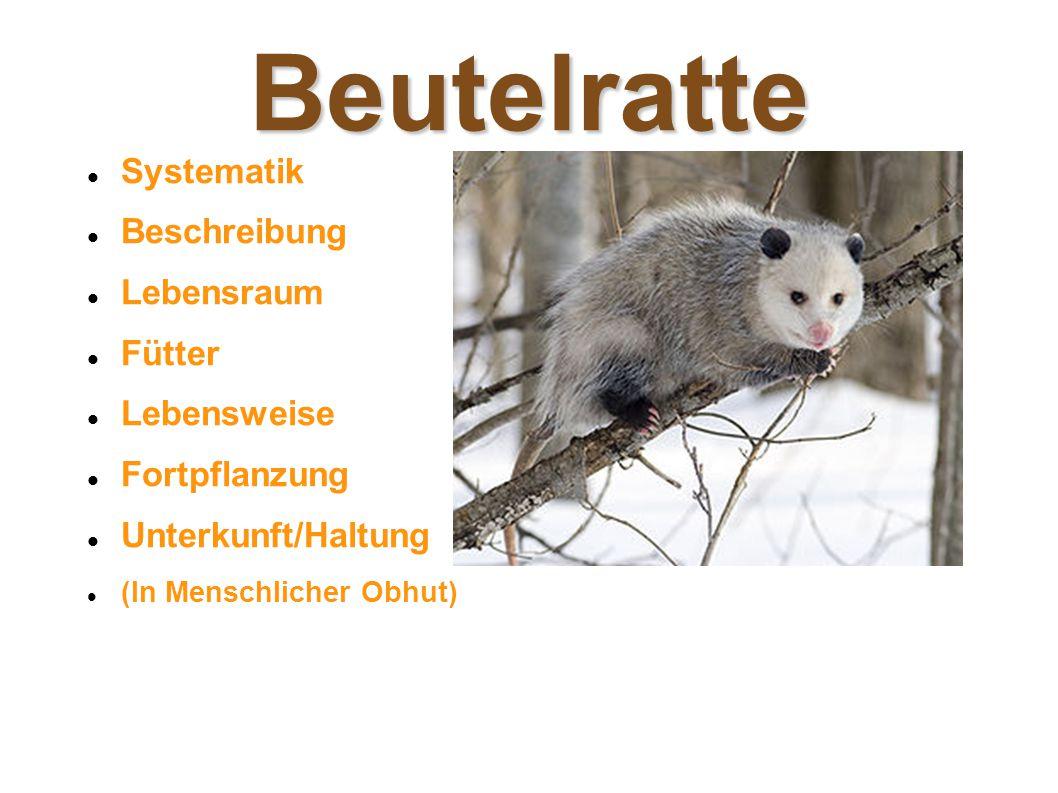 Beutelratte Systematik Beschreibung Lebensraum Fütter Lebensweise Fortpflanzung Unterkunft/Haltung (In Menschlicher Obhut)