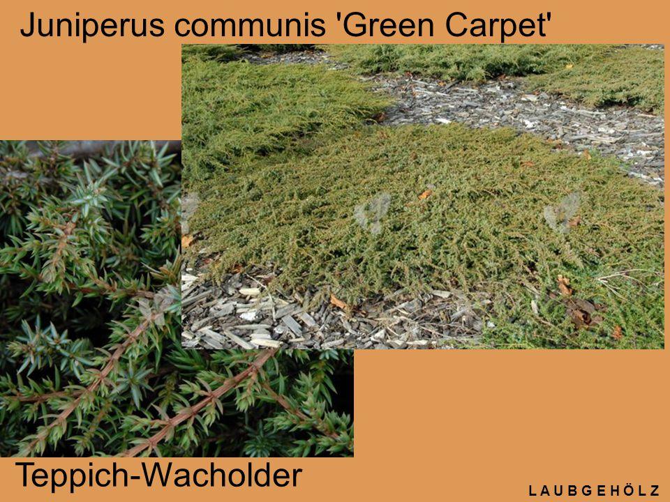 L A U B G E H Ö L Z Juniperus communis 'Green Carpet' Teppich-Wacholder
