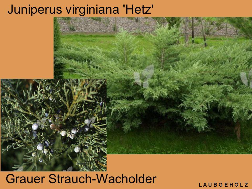L A U B G E H Ö L Z Juniperus virginiana 'Hetz' Grauer Strauch-Wacholder