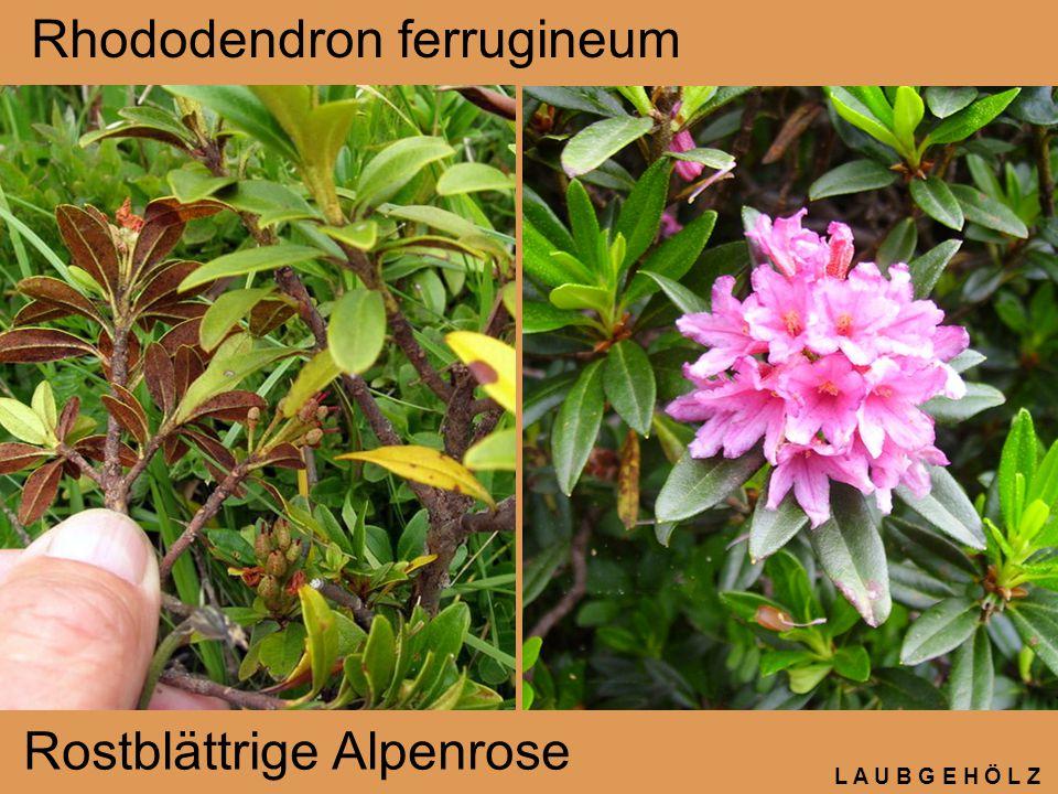 L A U B G E H Ö L Z Rhododendron ferrugineum Rostblättrige Alpenrose