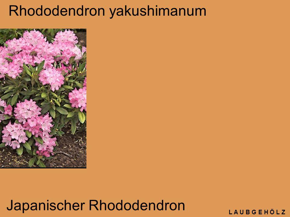 L A U B G E H Ö L Z Rhododendron yakushimanum Japanischer Rhododendron