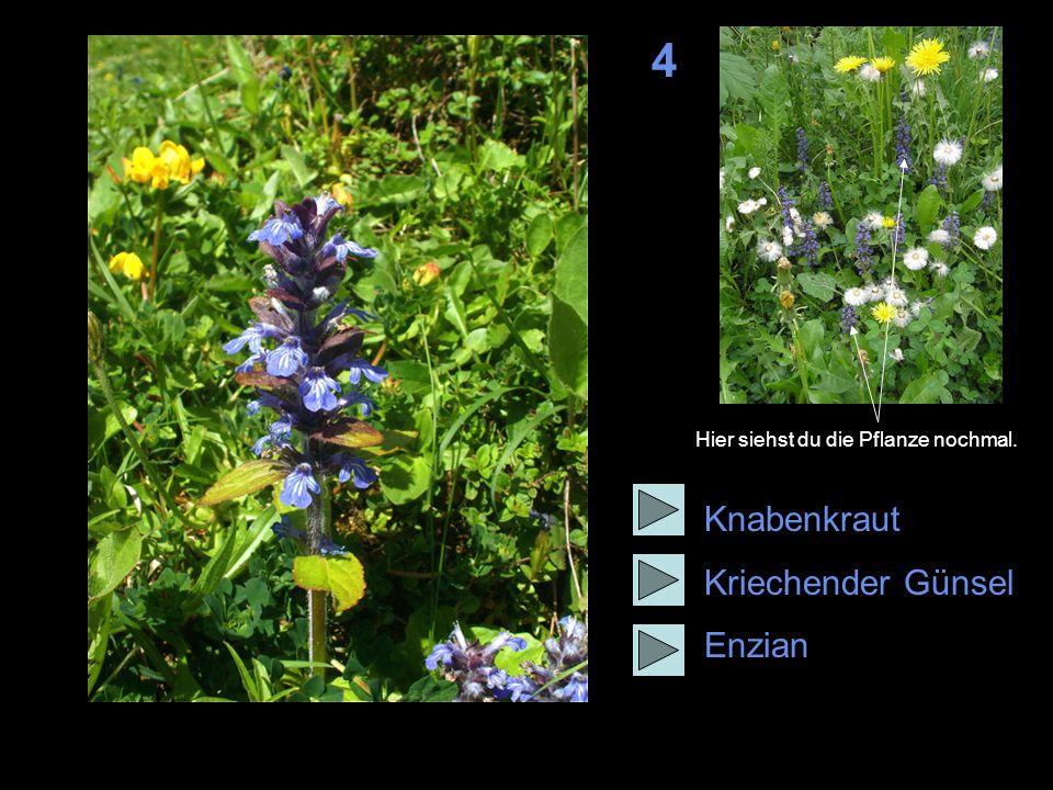4 Knabenkraut Kriechender Günsel Enzian Hier siehst du die Pflanze nochmal.
